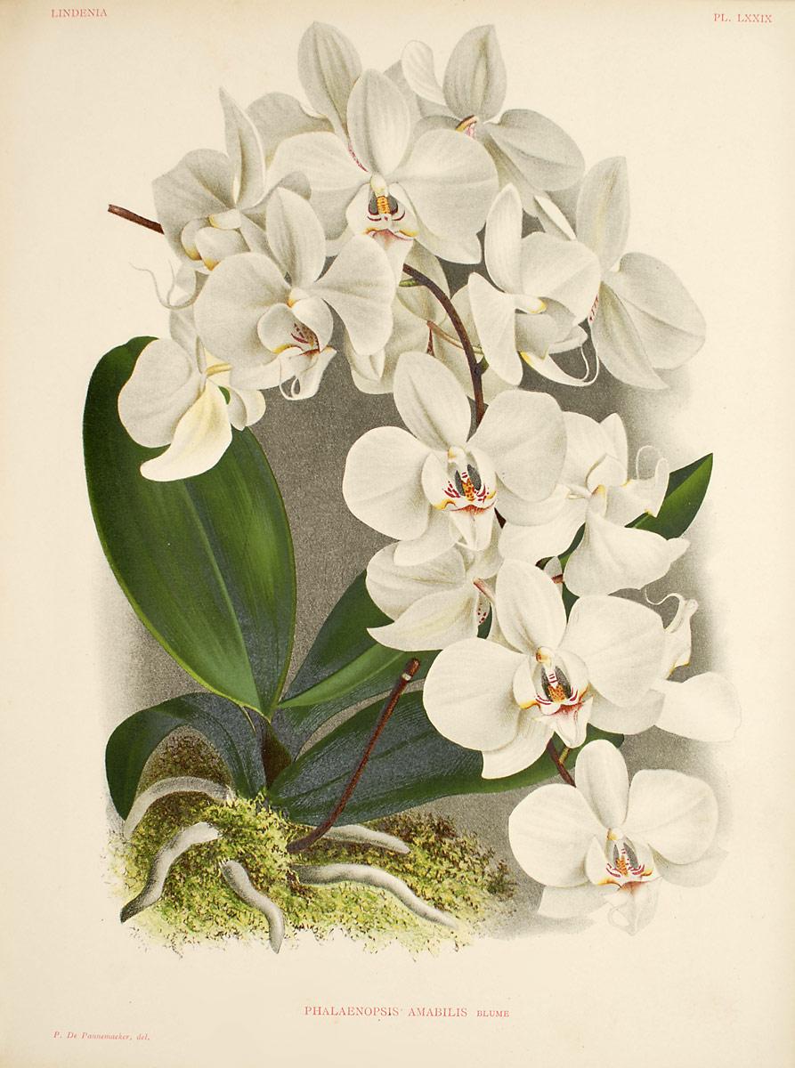 Phalaenopsis Orchids Wiki Wikia