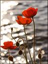Poppies lake geneva-1237.jpg