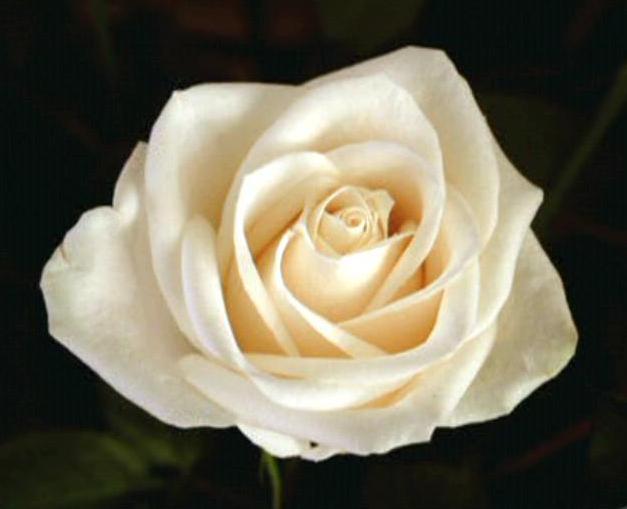 Rose - Memory Alpha, the Star Trek Wiki