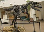 Allosaurus SDNHM