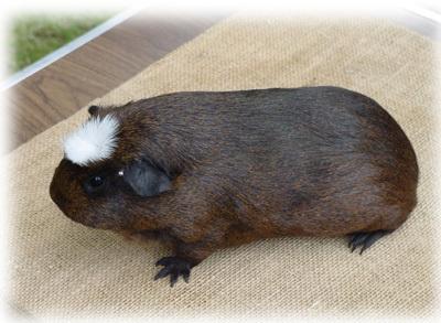 Crested guinea pig - photo#21