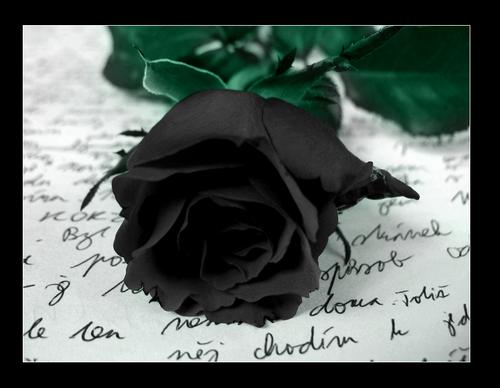 Black rose symbolism wiki for Do black roses really exist