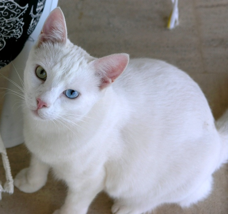 Turkish Van - Dogs and Cats Wiki Torbie Cat