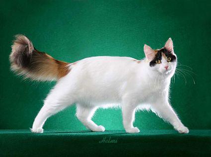 Turkish Van - Cats Wiki