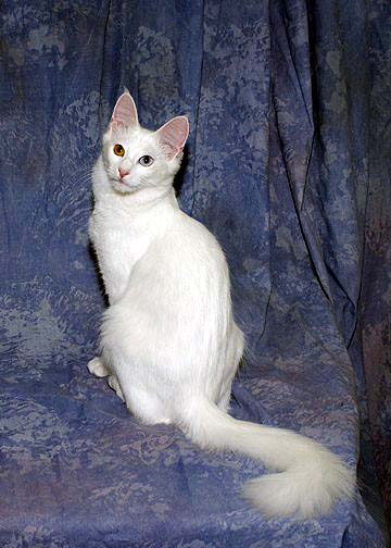 Turkish Angora Dogs And Cats Wiki