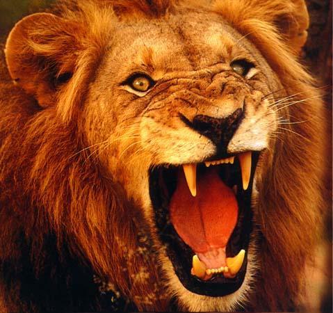 Roaring Lion Image Roaring Lion jpg