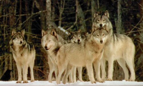 play wolf pack