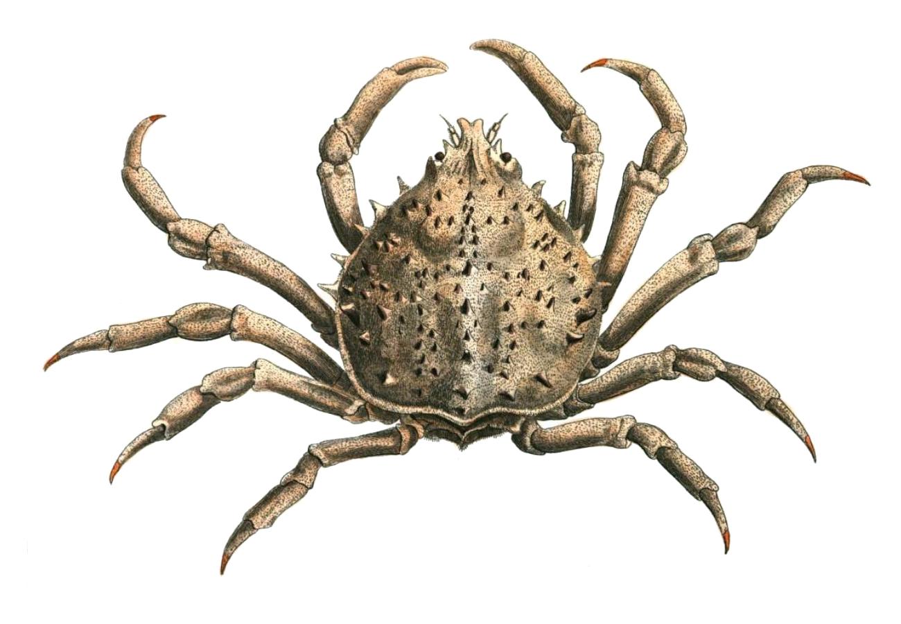 Spider crab - photo#49