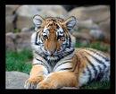Big Tiger Cub!.jpg