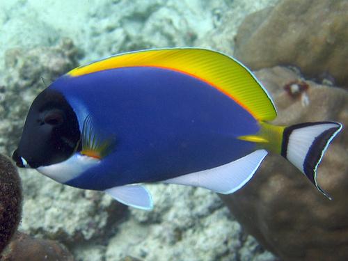 Powder blue tang endless ocean wiki for Tang saltwater fish