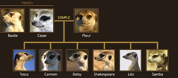 how to say meerkat in french
