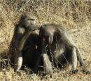 Chacma baboon
