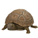 Pygmy Tortoise.png