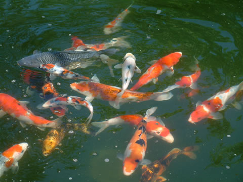 Koi animal crossing wiki for How much are koi fish