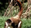Mono Maquisapa