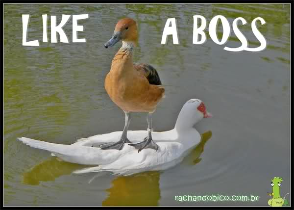 Like_a_boss_duck.jpg
