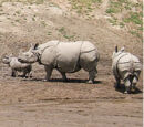 Rhinocerotidae