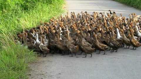 2000 Ducks