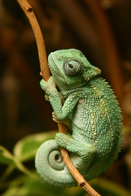 Image - Kameleon-ovaaaaaaa-za-pozadinuuu-bolja .jpg - Wild ...