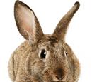 Unidentified Rabbit