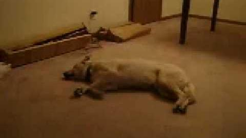 Hund träumt und läuft.