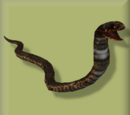 Ring-Necked Spitting Cobra