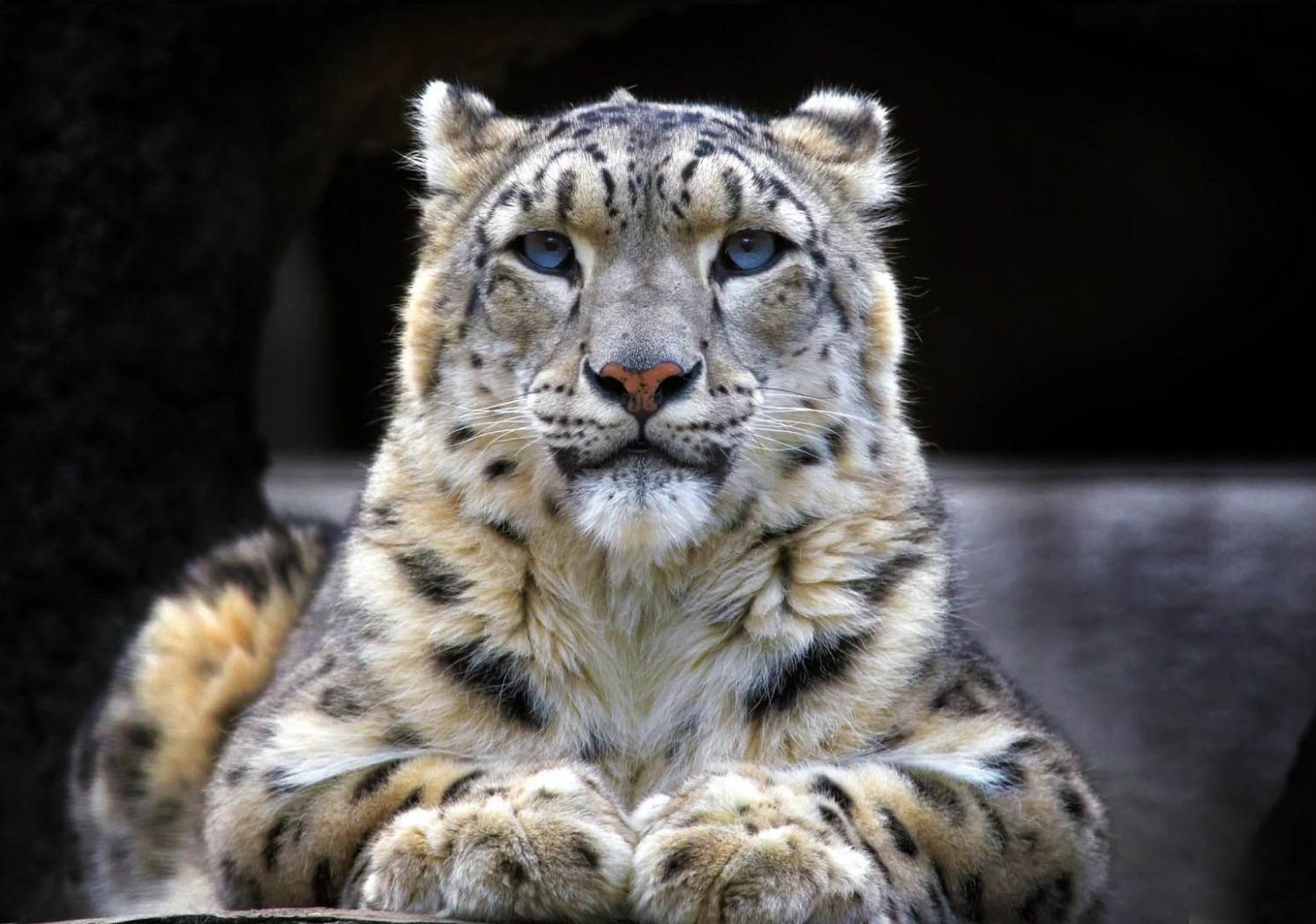 Animales Felino Leopardos Fondo De Pantalla Fondos De: Opiniones De Leopardo De Las Nieves