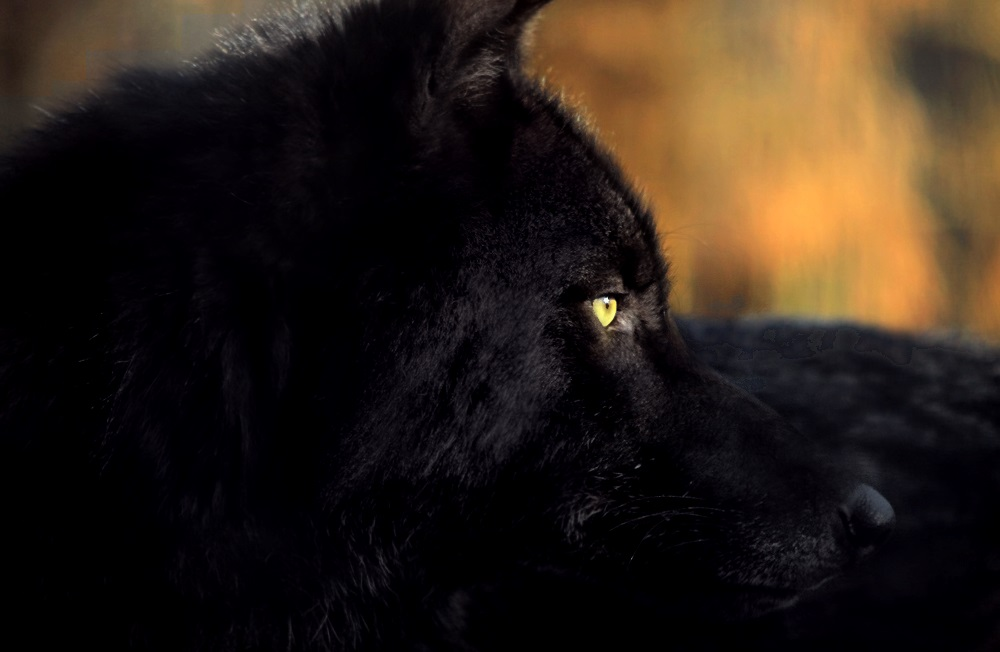 black wolf with yellow eyes - photo #1