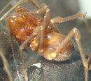 Stygnommatidae