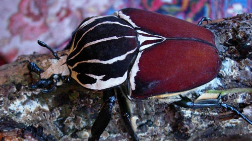 Goliath Beetle - Anima...