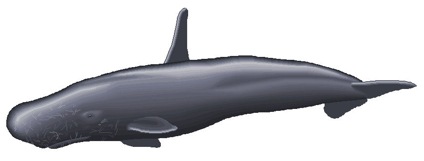 http   cryptidz wikia com wiki High-Finned Sperm Whale oldid 33359High Finned Sperm Whale