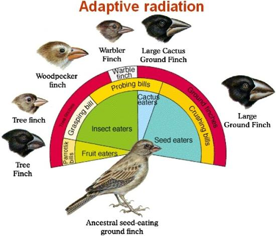 adaptive radiation darwin s finches Adaptive radiation of darwin's finches typical mainland type (ancestral) large seeds large ground finch cactus seeds and nectar cactus ground finch.