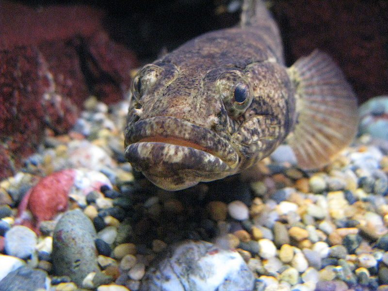 Freshwater goby animal crossing wiki for Freshwater goby fish