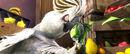 Rio (movie) wallpaper - Nigel Intimidating Scaredy Bird.jpg