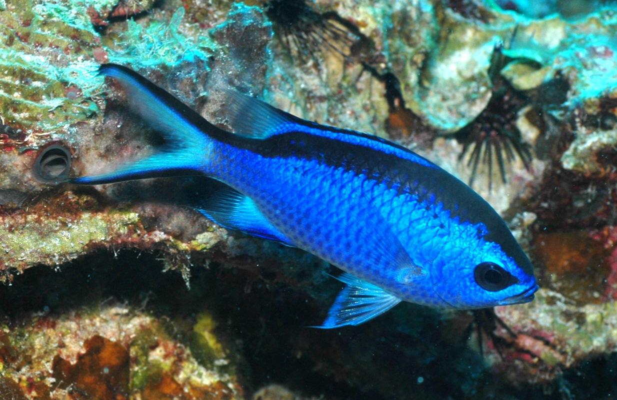 Blue Reef ChromisFan Feed