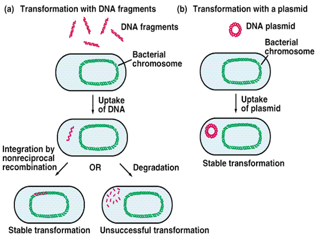 genetic extraction and bacterial transformation 2018-06-13 module 13: dna ligation and bacterial transformation course  bacterial transformation most bacteria do not usually exist in a 'transformation ready' state.