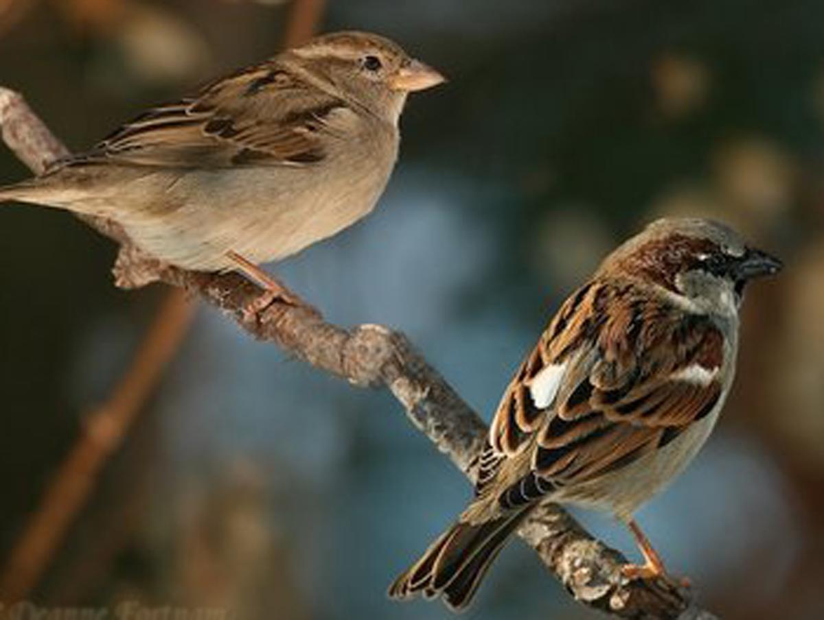 House sparrow rio wiki