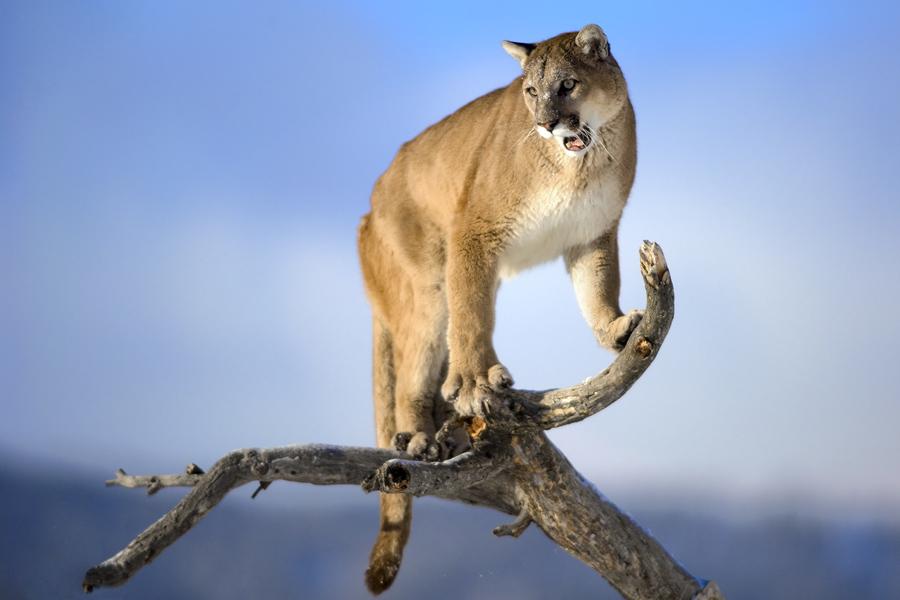 [Image: Puma.jpg]