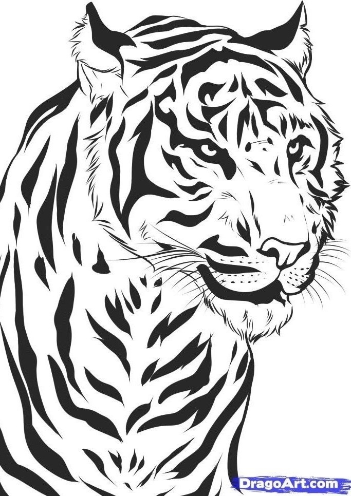 How-to-draw-a-realistic-tiger-draw-real-tiger-step-7 1 000000032991 5 ...