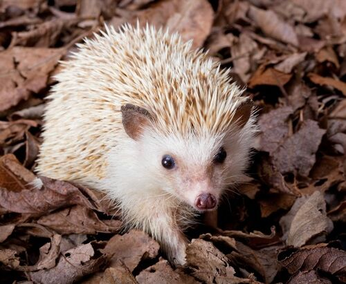 Image - Cutest hedgehog in the world.jpg - Greek-Goddesses ...