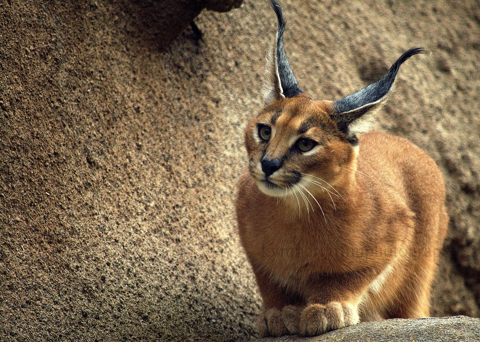 Baby Caracal Kittens Caracal Kitten