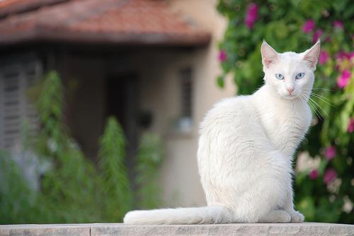 اجمل السنوريات البيضاء -3- White-cat-blue-eyes.