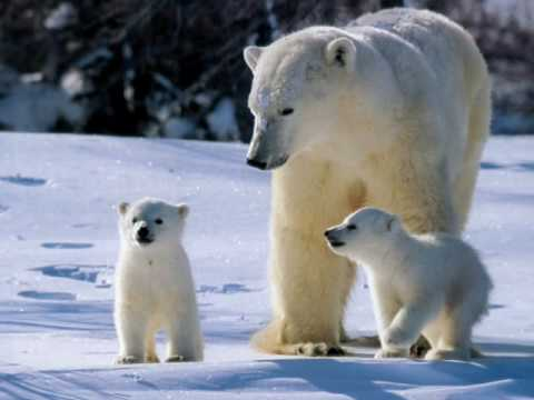 http://img3.wikia.nocookie.net/__cb20140323174532/la-quete-des-ours/fr/images/7/77/Ours_polaire_9.jpg