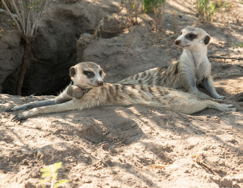 Meerkat manor whiskers