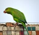 Parakeet Species