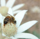 Bee on Flannel Flower.jpg