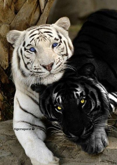 black tigers animal - photo #19