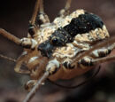 Leuronychus pacificus