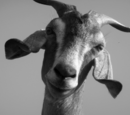 Blank Goat Stare
