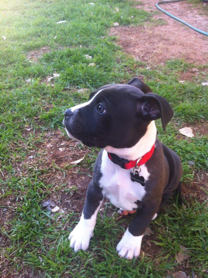Black and White Pitbull Boxer Mix